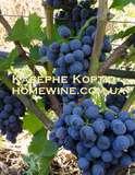 Саженцы винограда - Каберне Кортис