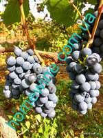 Саженцы винограда VB-53