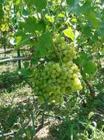 Столовый виноград Аркадия