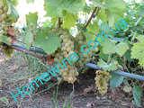 Саженцы винограда Ортега