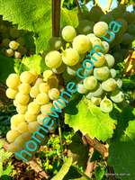 Саженцы винограда - Солярис