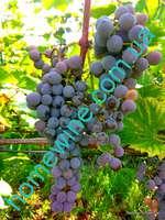 Саженцы винограда Фронтиньяк Гри