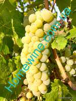 Саженцы винограда Йоханнитер