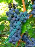 Саженцы винограда Медина