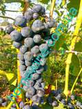 Саженцы винограда Регент
