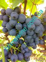 Саженцы винограда Рондо