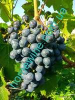 Саженцы винограда Восточный