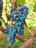 Виноград Маркет