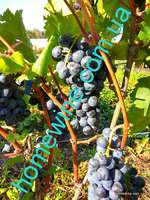 Саженцы винограда Нижнедонской