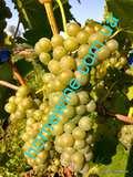 Саженцы винограда Шардонель