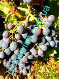 Саженцы винограда Цимлянский Ранний