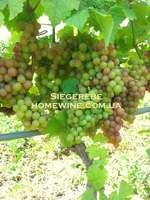 Саженцы винограда Зиггеребе