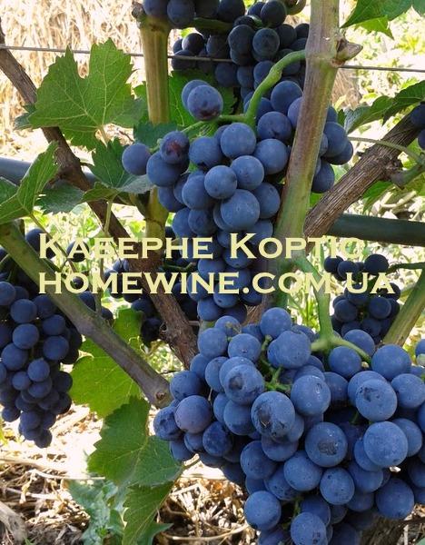 фото виноград каберне
